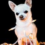 Cooper, Chihuahua